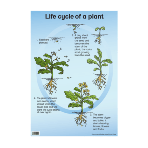 Life Cycle Of A Plant - Poster